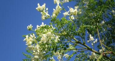 Propiedades de la Moringa, Malunggay o Planta Milagrosa