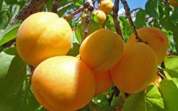 Vitamina b17 o Laetril para el Tratamiendo del Cancer