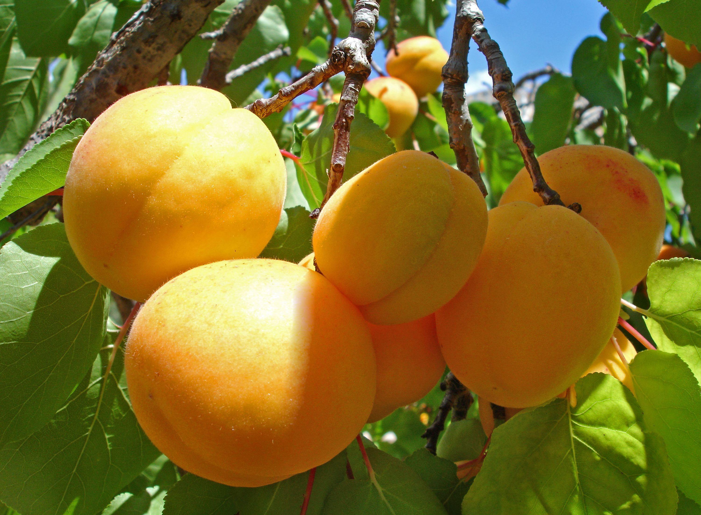 apricot-tree-twig